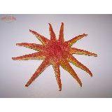 Морская звезда (настоящая, засушеная д/декорирования) 20см